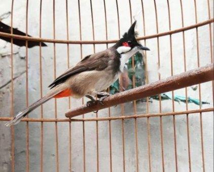 Chim Chào Mào                 tại Ninh Bình