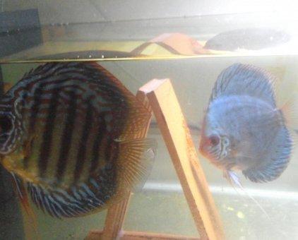 Cá dĩa bột xanh                 tại Đà Nẵng