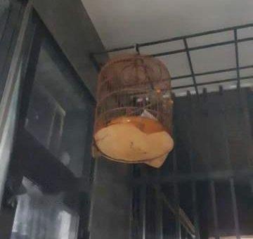 Giao lưu chim chích chòe than và lồng                 tại Đà Nẵng