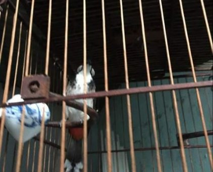 chào mào 1 mùa lông chim quảng trị. chim lửa mà                 tại Thừa Thiên Huế