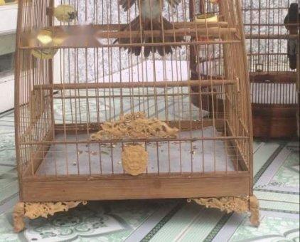 Chim đấu giàn                 tại Đồng Nai