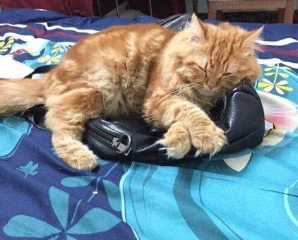 Bán mèo Ba Tư do không có thời gian chăm sóc                 tại Hà Nội