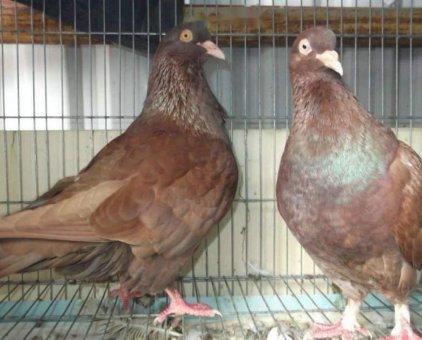 Bồ câu Nhà không nuôi nữa nên cần bán nhanh                 tại TP Hồ Chí Minh