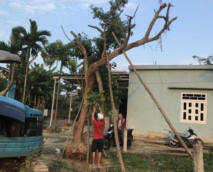 Cần bán cây bóng mát                 tại Đà Nẵng