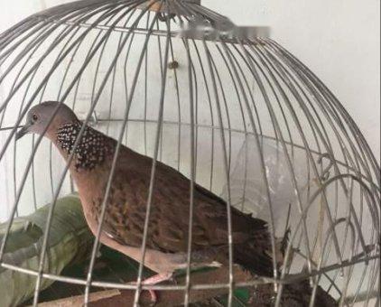 Chim bẫy lụp                 tại TP Hồ Chí Minh