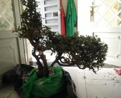 Cây bonsai                 tại TP Hồ Chí Minh