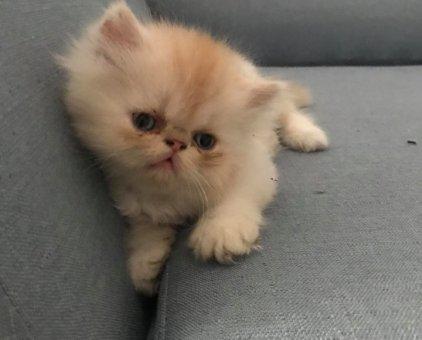 Bán mèo con Ba Tư thuần chủng đẹp                 tại TP Hồ Chí Minh
