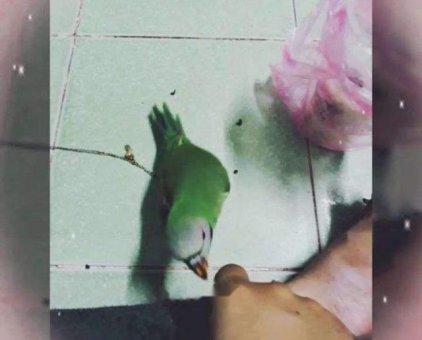 Chú chim nuôi từ nhỏ lên                 tại TP Hồ Chí Minh