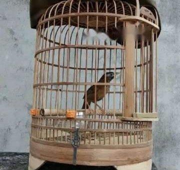 Chim hoạ mi mộc dở                 tại Hà Nội