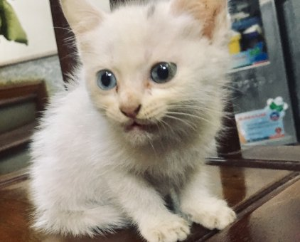 Bán mèo Nga 3 tháng tuổi, lông dài                 tại Hà Nội