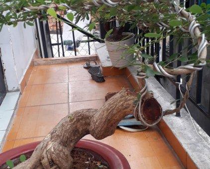 Cây bonsai linh sam                 tại TP Hồ Chí Minh