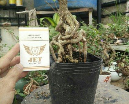 Hong ngoc mai bonsai                 tại TP Hồ Chí Minh