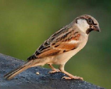 Bán chim sẻ phóng sinh 17.000đ                 tại Hà Nội