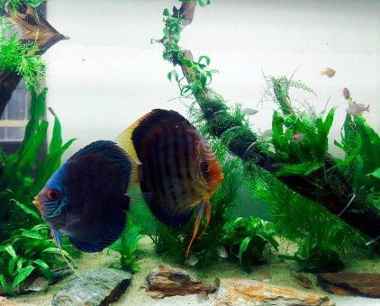 Cá dĩa đẻ size 13-15                 tại Đà Nẵng