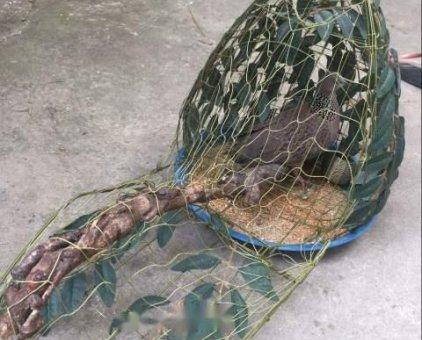 Bán chim cu mồi hơn 3 mùa                 tại TP Hồ Chí Minh