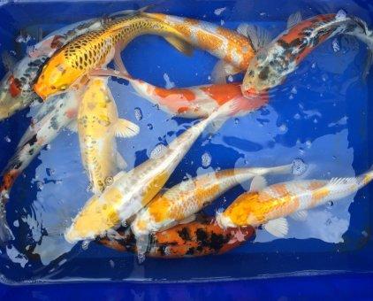 chép koi size 15-35 giá mềm                 tại TP Hồ Chí Minh