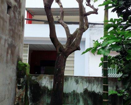 Cần bán cây khuế                 tại Đà Nẵng