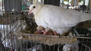 Cung cấp chim bồ câu Pháp giống và chim bồ câu thịt ở Hà Nội                 tại Hà Nội