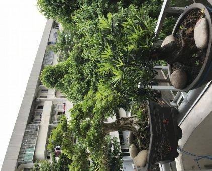 bonsai nguyệt quế, tùng la hán                 tại TP Hồ Chí Minh
