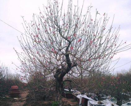 Đào Nhật Tân chuyên bán và cho thuê đào tết ngay tại vườn                 tại Hà Nội