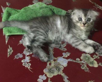 Mèo Anh Lông Dài Tai Cụp ❤️                 tại TP Hồ Chí Minh
